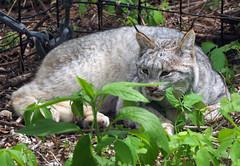 Binder Park Zoo 05-20-2015 - Canadian Lynx 31 (David441491) Tags: park zoo canadian lynx binder