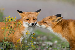 Cute couple (a3aanw) Tags: animal fox vos amsterdamsewaterleidingduinen nikond800