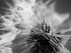 Taraxacum (steph20_2) Tags: bw white black flower macro fleur monochrome closeup lumix noir noiretblanc ngc panasonic g5 monochrom blanc 45mm taraxacum m43 skanchelli