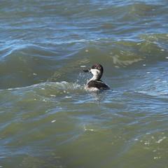 8F9A1040.jpg (ericvdb) Tags: bird duck muskegon ruddyduck wastewaterplant
