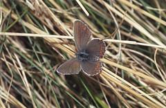 1998_14_06_edited-1 (Clive Webber) Tags: lycaenidae plebejusargus silverstuddedblue mtaigoual polyommatinaeblue