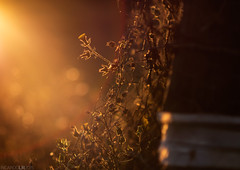 (Photographordie) Tags: light sunset flower luz atardecer hope glow bokeh flor beautifullight flare esperanza samyang85mm olympuspenepm2 olympusepm2 samyangasphericalif85mmf14