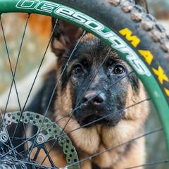 _DSC4234-29112015 (Miguel A. Quints V.) Tags: dog perro alsatian wwwquintasfotografiaes