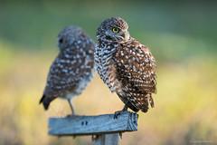 Burrowing Owls (Nikographer [Jon]) Tags: spring florida april fl apr capecoral 2015 burrowingowls 20150403d810004202