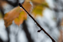 Rain fall (LEGTello) Tags: autumn trees brown plant flower reflection tree fall leave beach water beautiful beauty leaves rain yellow forest leaf maple branch natural branches clear acer raindrop clena