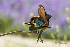 Abejarucos 36 (jimenezcuestapepe) Tags: fauna sevilla aves abejaruco andalucia espana localizacion morondelafrontera