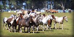 De overos y tobianos (Eduardo Amorim) Tags: horses horse southamerica argentina criollo caballo cheval caballos cavalos pferde herd cavalli cavallo cavalo gauchos pferd ayacucho chevaux gaucho cavall  amricadosul gacho amriquedusud provinciadebuenosaires  gachos  sudamrica suramrica amricadelsur sdamerika crioulo caballoscriollos criollos  tropillas buenosairesprovince americadelsud tropilhas tropilla crioulos cavalocrioulo americameridionale tropilha caballocriollo eduardoamorim cavaloscrioulos