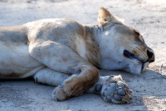 Lioness (Panthera leo), South Luangwa NP, Central Province, Zambia (West Tribe) Tags: lioness pantheraleo southluangwa nationalpark np zambia bigcat animals mammal mammals female carnivore predator huntress nap tired sleep sleeping paw african africa southern rest resting centralprovince