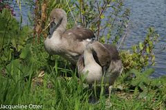 young swan (jacqy85) Tags: swan zwanen