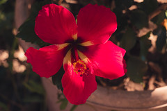 red flower (sal tinoco) Tags: flower flowers fantasticflower outside red nature plant pollen green