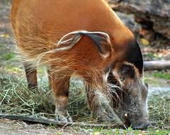 Red River Hog 2 (Emily K P) Tags: milwaukeecountyzoo zoo animal wildlife redriverhog red hog pig boar hair