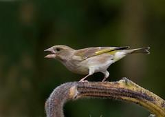 verdone (ric.artur) Tags: animali ali volatili verdone piemonte nikon naturalmente natura naturaee nature