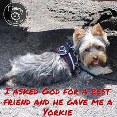 My best friend indeed (itsayorkielife) Tags: yorkiememe yorkie yorkshireterrier quote