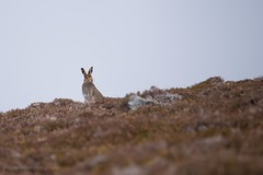 Mountain Hare (kfjmiller) Tags: mountainhare hare scotland highlands animal wildlife outdoors moor october fall autumn nikond610 tamron150600mm