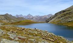 lac du Lauzanier (7) (b.four) Tags: montagna mountain montagne lakze lago lac mouton sheep pecora lauzanier larche haute ubaye aloesdehauteprovence