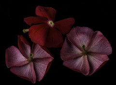 The Red Trio (Bill Gracey) Tags: trio flowers flores fleur red color colorful offcameraflash blackbackground homestudio tabletopphotography perspex sidelighting filllight yn560iii yongnuorf603n nature naturalbeauty composition