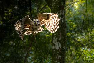 Barred Owl in side light -Featured on Florida Parks