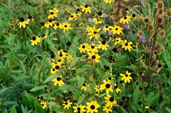 1609_YashE35GT_023.jpg (OldChE) Tags: coloryashinondx45f17 film flowers harvesterpark kodakgold200 yashicaelectro35gt