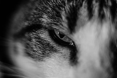 Eye (Evan's Life Through The Lens) Tags: camera sony a7s lens glass 50mm f18 fe af macro cat senses kitty fur beautiful black white bw digital exposure dark eye nose ear light contrast