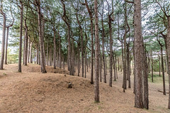 DSC_1267 (Andrew J Horrocks) Tags: formby pinewoods freshfield liverpool trees
