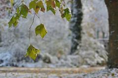 Herbstbltter (nirak68) Tags: 315366 schnee 1schnee firstsnow bunteslaub bltter leavesaautumn winter herbst 2016ckarinslinsede baum ahorn acer maple sonnenschein lbeck schleswigholsteinkreisfreie deutschland schleswigholsteinkreisfreiehansestadtlbeck ger