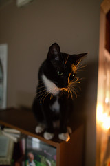 sunset cat (KieraJo) Tags: wide angle canonef24mmf14liiusm l lens canon 5d mark 3 iii 5d3 fullframe dslr home inside sunset warm light cat bookshelf cute picasso tuxedo black white paws