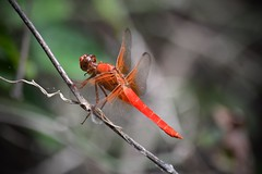 Scarlet Skimmer (Kreative Capture) Tags: dragonfly scarlet skimmer crocothemis servilia wings fly insect red texas nikkor d7100 nikon outdoor dof