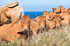 ...with ocean view (Rainer ) Tags: khe cows vacas atlantischerozean biskaya kantabrien espaa spanien spain espagne color sommer2016 rainer