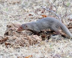 DSC_1437 (H Sinica) Tags: udawalawenationalpark  mongoose srilanka  ceylon  safari