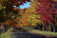 The Alley in Fall (pegase1972) Tags: autumn automne leaves tree nature road montrgie canada monteregie quebec alley qubec fall qc foliage licensed shutter fotolia dreamstime 500px