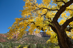 Glorious cottonwoods in the Canyon de San Diego (Squirrel Girl cbk) Tags: 2016 cottonwoods jemezcanyon newmexico october tree