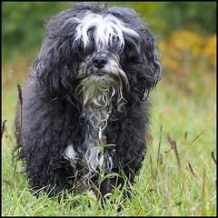 - Struwwelix - (HORB-52) Tags: berndsontheimer badenwrttemberg blackforest hund havaneser