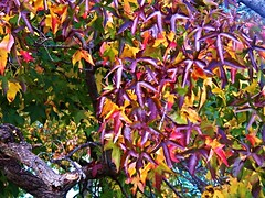 Color explosion (MissyPenny) Tags: tree leaves colors autumn fall purple yellow buckscounty bristolpennsylvania southeasternpa usa