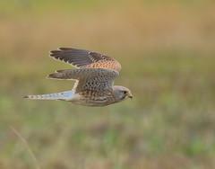 Kestrel (acerman17) Tags: wildlife nature kestrel prey raptor flying flight hunting bird