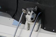 Gent_2_New neighbours_IMG_9652 (Hlne (HLB)) Tags: gent ghent gand belgique belgi europe europa chien dog pet bateau sage eyes augen yeux port