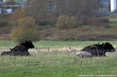 2016-11-28 Sandhill Crane (02) (1024x680) (-jon) Tags: anacortes skagitcounty skagit washingtonstate fidalgoisland sanjuanislands pugetsound padillabay marchpoint fidalgobay bird sandhillcrane gruscanadensis rarity unusual rare a266122photographyproduction cow cattle beef angus canadageese geese blackangus brantacanadensis juvenile crane goose field pasture tesoro refinery anacortestesororefinery sacr