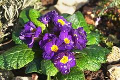 primula (welenna) Tags: flowers fruhling primula spring blume blumen bloom blhen blooming