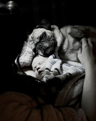 Pug protects newborn baby and gets a belly rub from mom.  Perfection. (Jaye Eryk) Tags: pug pet dog baby newborn child mom rub fur furbaby fam family love protective protection sleep face bnw blackandwhite pic picoftheday photo photography