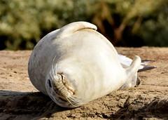 Seal takes it easy. (pstone646) Tags: seal nature wildlife animal fauna resting sandbank beach kent sandwich