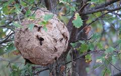 Nid de frelon asiatique (Pittou2) Tags: luc nx nx30 samsung france byluc frelon asiataique frelonasiataique abeille mort vespa velutina vespavelutina insecte macro hornet nid niddefrelon niddefrelonasiataique nuisible