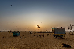 And falling's just another way to fly... (Well-Bred Kannan (WBK Photography)) Tags: wbkphotography wbk wellbred kannanmuthuraman kannan nikon nikond750 d750 india indian weekendwalk incredibleindia travelphotography travel traveler marina marinabeach chennai mychennai madras sunrise crow bird bayofbengal landscape seashore shore sky