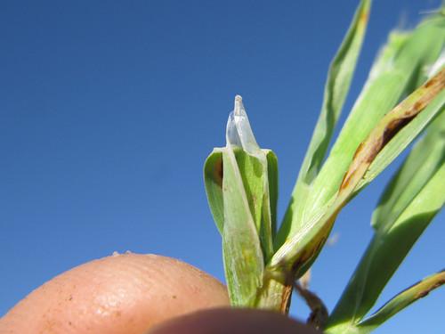 Lamarckia aurea ligule2 NWS