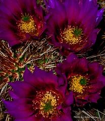 Four Purple Hedgehog Flowers at Night (JohnHersey16) Tags: dry bunch colorimage hedgehogcactus thorn flower southwestusa outdoor claret red bloodred bud closeup nopeople desertplant cactus arizona cactusflower desert succulentplant needleplantpart