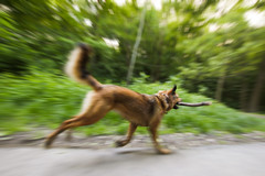 Let's Play (CoolMcFlash) Tags: dog animal pet panning exposure running play canon eos 60d outdoor forest wood stick hund tier haustier mitziehen speed geschwindigkeit motionblur laufen spielen wald holz holzstock fotografie photography sigma 1020mm 35 zoom