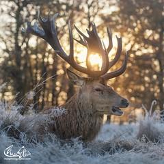 #winterwonderland #stagoftheday (maxjunkyard) Tags: winterwonderland stagoftheday