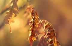Listen (charhedman) Tags: autumn driedleaves golden listening light macro bokeh