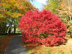 Red Acer (JulieK (finally moved to Wexford)) Tags: acer red leaves foliage colourful autumn path jfkarboretum canonixus170 ireland irish htmt