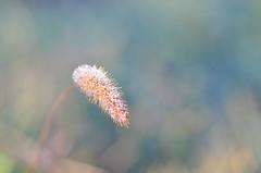 Rose du matin (dfromonteil) Tags: grass herbe rose dew gouttes droplets macro bokeh vegetal autumn light lumire sunlight wow