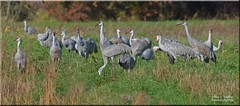 Sandhill Cranes [Explored] (Windows to Nature) Tags: