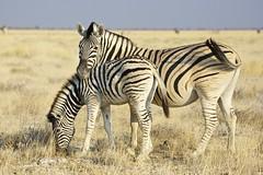A mothers love (proefdier) Tags: africa afrika animal baby cute etosha love namibia nationalpark tenderness wildlife zebra